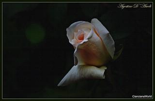 Rosa bianca a Primavera - Aprile-2017
