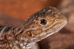 Painted Dragon (R. Francis) Tags: aridrecovery aridrecoveryreserve ryanfrancis ryanfrancisphotography olympicdam roxbydowns southaustralia sa ctenophoruspictus painteddragon