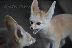 DSC_6425131122 (Akira Uchiyama) Tags: ほ乳類 アフリカ キツネ フェネックギツネ 動物たちのいろいろ 生息地 耳 耳フェネック