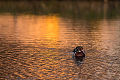 Sunrise (javajunkies126) Tags: 6d wood duck green red black white orange water sunrise sun canon manfrotto tripod bullhead blind pond ohio wild life nature color calm relaxing cool morning reflection