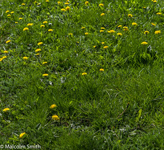 Dandelion Patch (M C Smith) Tags: green grass yellow pentax kp dandelion weeds