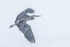 Snow storm (Peter Stahl Photography) Tags: gbh greatblueheron heron spring flight snowing