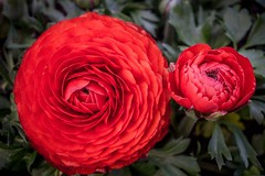 Flowers from Gengenbach! (Curious ClickZ of Rezwanul Alam) Tags: green leaves photography sonya6000 love beautiful gengenbach outdoor nature red pair petal flower