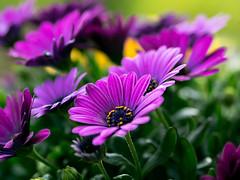 Namenlos (schasa68) Tags: blumen macro tiefenschärfe lila olympus nahaufnahme detailaufnahme flowers makro blume garten
