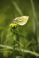 Repcelepke (Cini S) Tags: greenveinedwhite butterfly lepidoptera insect flyinginsect
