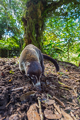 Follow the nose (Khurram Khan...) Tags: whitenosecoati mammals wildlifephotography wildlife costarica winter naturephotography perspective wildelife naturephotos iamnikon ilovewildlife ilovenature nikonnofilter