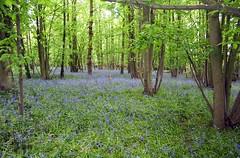 Carpet of Bluebells in bottom of the Wood (John Carson Essex UK) Tags: thegalaxy thegalaxystars rainbowofnature supersix