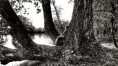 Daydreaming on the Fontanej's Giant Poplar (! / dino olivieri / www.onyrix.com) Tags: lake child poplar tree trees lago natura nature fantastic imagination blackwhite black white blanc noir dreams dream