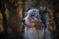 Portrait in the woods (juhwie.foto - PROJECT: LEIDENSCHAFT-LICH-T) Tags: portrait woods aussie australian shepherd dogs nature pentax art k1 animal