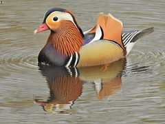 Mandarin Drake (PhotoLoonie) Tags: duck mandarinduck nature wildlife colours colourfull feathers