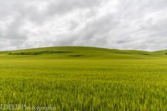 NT3.0033-CW1605618_38616 (LDELD) Tags: palouse uniontown washington unitedstates us wheat spring green