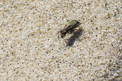 Tiger Beetle (brucetopher) Tags: beach tigerbeetle tiger beetle cicindela beachtigerbeetle insect bug critter creature tiny beauty beautiful pattern elytra maculations shell camouflage fast tease frustrating elusive animal outdoor