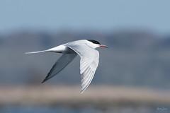 Common tern (Shane Jones) Tags: commontern tern bird birdinflight wildlife nature nikon d500 200400vr tc14eii