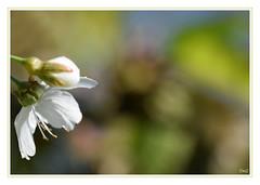 Focus sur étamines !! (thierrymazel) Tags: etamines fleurs flowers blossoms printemps spring nature bokeh profondeur champ pdc bordure cadre