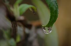 waterdrop (mtollich) Tags: water waterdrops wassertropfen wasser frühliing spring outdoor garden