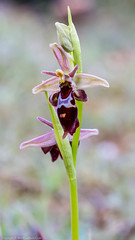 Woodcock X Fly Orchid Hybrid (Ophrys x nelsonii (O. insectifera x O. scolopax)) (BiteYourBum.Com Photography) Tags: dawnandjim dawnjim biteyourbum biteyourbumcom copyright©2017biteyourbumcom copyright©biteyourbumcom allrightsreserved canoneos7d canonefs60mmf28macrousm sigma50500mmf4563dgoshsm canonef1740mmf4lusm apple imac5k lightroom5 ipadair appleipadair camranger lrenfuse focusstacking polaroidautofocusdgmacroextensiontubes manfrotto055cxpro3tripod manfrotto804rc2pantilthead loweproprorunner350aw uk unitedkingdom gb greatbritain england dorset woodcockorchid flyorchid hybrid ophrysscolopax ophrysinsectifera woodcockxflyorchidhybrid ophrysscolopaxxophrysinsectifera woodcock x fly orchid ophrysxnelsonii oinsectiferaxoscolopax ophrysxnelsoniioinsectiferaxoscolopax oinsectifera oscolopax