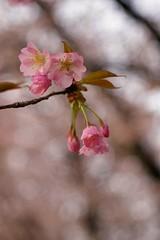 Cherry blossoms in neighborhood 2017/04 No.12. (HIDE@Verdad) Tags: pentaxistds carlzeissjenaddrtessar50mmf28 pentax istds carlzeissjena tessar