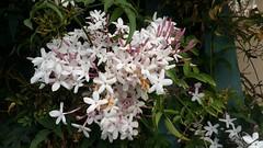 Jasmine (danieljsf) Tags: jasmine plant flowers scent spring smellsgood