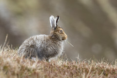 Nibbler (beverleythain) Tags: mountain hare scotland highlands cairngorms wildlife nature animal snow seasons camouflage