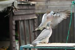 21 April 2017 (32) (AJ Yakstrangler) Tags: yakstrangler pigeon pigeons