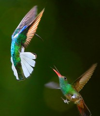 White-necked Jacobin vs Rufous-tailed Hummingbird... (Rosa Gamboias) Tags: naturepavilionpark lavirgen costarica sarapiquí hummingbirds hummers fight colibrís rufoustailedhummingbird whiteneckedjacobin beijaflores picaflores action rosagambóias costaricabirds avesdecostarica nature natureza naturaleza wildlife vidaselvagem inflight