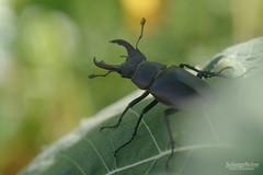 Lucane Cerf-volant - Lucanus Cervus (Solange B) Tags: lucanecerfvolant lucanuscervus coléoptère beetle insecte insect marco nikon d800 105mm solangebelon solangeb