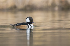 Hooded Merganser (nikunj.m.patel) Tags: ducks hoodedmerganser merganser waterfowl wildlife nature migration maryland nikon outdoor pond