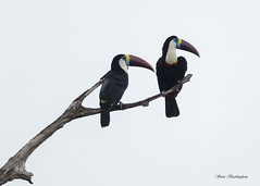 White-throated Toucans (sbuckinghamnj) Tags: rupununi whitethroatedtoucan toucan neotropical guyana iwokramaforest bird nature