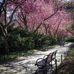 A Stroll down Crabapple Lane (CVerwaal) Tags: blossoms centralpark conservatorygarden spring trees newyork ny usa crabapple sonyrx100iii