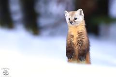 Stand Tall (Megan Lorenz) Tags: pinemarten marten americanmarten weasel animal mammal nature wild wildlife wildanimals snow algonquinprovincialpark ontario canada mlorenz meganlorenz
