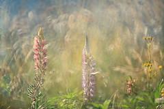 Wild Flowers near Lake Wakatipu (lfeng1014) Tags: lupin wildflowersnearlakewakatipu wildflowers lakewakatipu queenstown newzealand multipleexposure bokeh light closeup canon5dmarkiii 70200mmf28lisii macro macrophotography lifeng