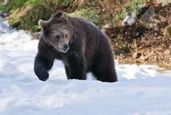 Bruine beer - Ursus arctos (wimberlijn) Tags: bruinebeer ursusarctos beer beiersewoud bayerischerwald nationalparkzentrumlusen braunbär bär bavarianforest brownbear bear nature wildlife animal outdoor