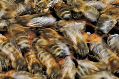 A hive of activity (flowergirlaaa (busy bee, catching up)) Tags: filltheframe macromondays intentionalblur macro honeybee motionblur hive colony honey honeycomb bees movement motion activity