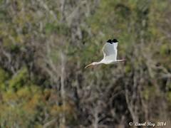 1.02187 Ibis blanc / Eudocimus albus / White Ibis (Laval Roy) Tags: birds aves mexique whiteibis eudocimusalbus oiseaux envol ciconiiformes threskiornithids ibisblanc lavalroy