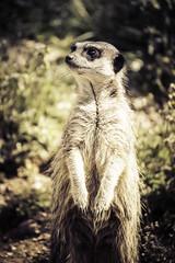 Meerkat (phdlou) Tags: meerkat animalplanet marwellzoo