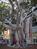 Gnarly Tree to Play in at USC (Robb Wilson) Tags: tree losangeles usc universityofsoutherncalifornia hugetree latimesfestivalofbooks kidsandtrees