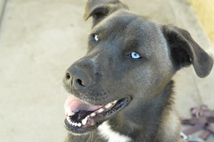 (JessieGarcia) Tags: dog puppy eyes lab husky blueeyes cutie huskador