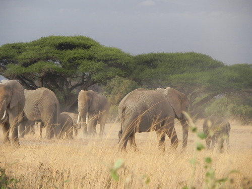 Herd of elephant mares and calfs