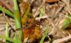 Eastern Amberwing (ghelm4747) Tags: usa macro nature water canon bug insect outside amber us wings unitedstates florida dragonfly wildlife united small northamerica states centralflorida polkcounty easternamberwingdragonfly sx50hs kiccowildlifemanagementarea