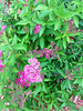 """Spirea Anthony Waterer • <a style=""""font-size:0.8em;"""" href=""""http://www.flickr.com/photos/101656099@N05/13947534730/"""" target=""""_blank"""">View on Flickr</a>"""