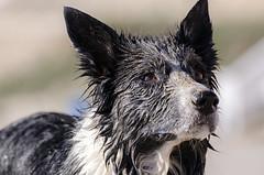 Sand Dog (joseruiperez_es) Tags: sea dog pet beach mar sand nikon collie border playa arena perro mascota tamrom d7000