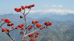 Nature (Sougata2013) Tags: trees india mountain flower nature spring hill himalaya mandi himachal hilltop himachalpradesh snowpeak himalayanrange dhauladhar dhauladharrange erythrinastricta raktamandar kamand corkycoraltree রক্তমন্দার katindivillage katindi