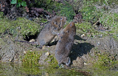Pair Of Juvenile Water Voles - Arvicola terrestris Fighting Beside A Stream. Uk (PANDOOZY PHOTOS) Tags: uk two playing water spring stream babies pair young brook plays fighting vole juvenile playful behaviour terrestris voles arvicola bahavior