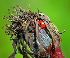 Awakening (Rattyman76) Tags: ladybird poopy diapause