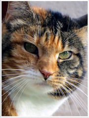 Chat du voisin 2 (abac077) Tags: animal cat kat chat gato katze gatto kot minou