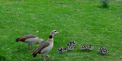 Familienidylle in Bad Sassendorf (Ela2007) Tags: familie gänseküken küken nilgans badsassendorf