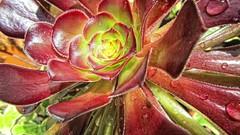 Aeonium (scrappy annie) Tags: flower nature rain succulent raindrop aeonium