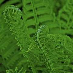 Tasty? (David M Strom -- On and Off) Tags: fern