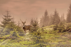 Heile Welt (Schneeglöckchen-Photographie) Tags: forest deer wald hirsch