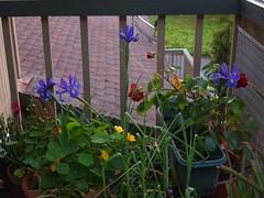 P4195517A balcony garden 20130419 (caligula1995) Tags: flowers balconygarden 2013
